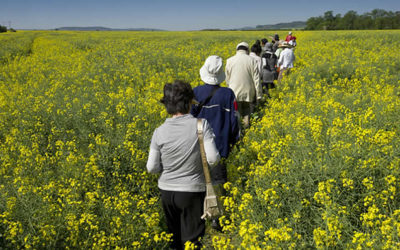 Goodbye, olive oil: why we've all fallen in love with rapeseed