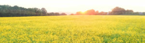 Dawn at Newgrange Gold showing sun over field of rape
